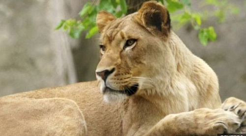 Lioness Zuri had lived with Nyack for eight years and the zoo said the two had never shown aggressio