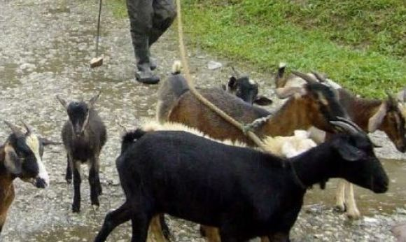 Goats File photo