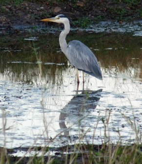 Another heron