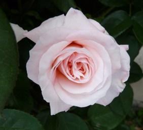 Gay's Rose