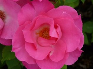 rose pink gay's 3
