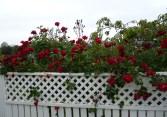 roses red mum's
