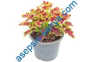 Coleus plant in kenya