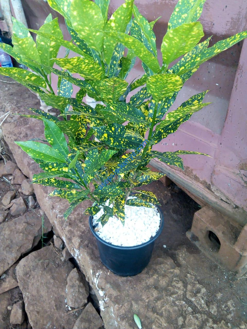 Croton Petra Plants Asepsis Limited