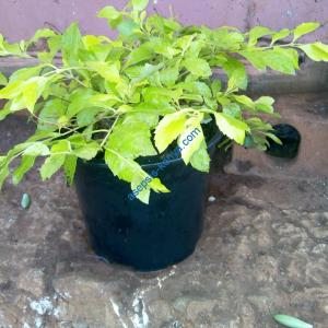 Golden duranta plantin Kenya