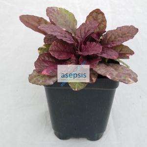 Bugleweed [Ajuga] Plant