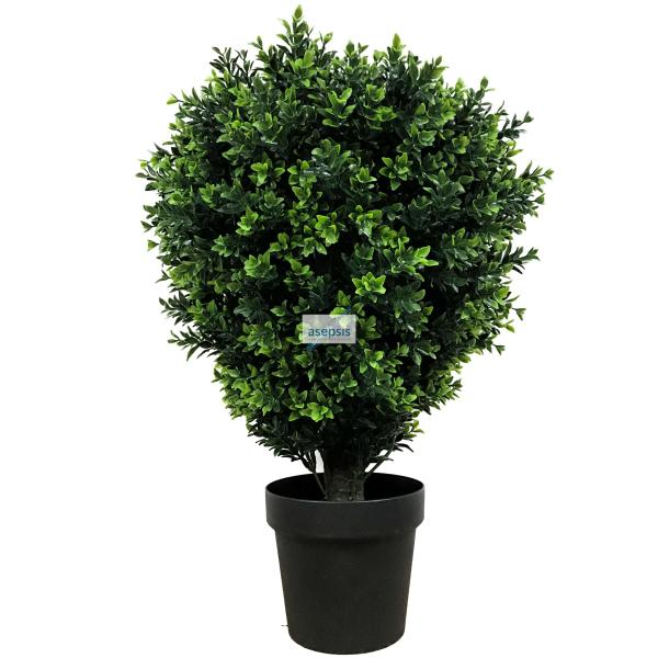 Boxwood Hedge plants for sale [Buxus]