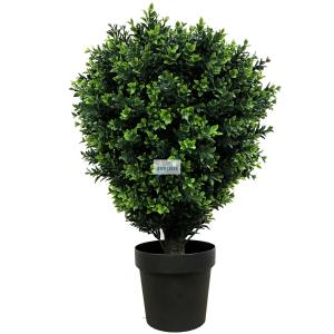 Boxwood Hedge plants for sale [Buxus]