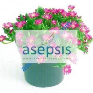 Hardy ice plant [Delosperma cooperi]