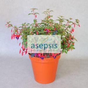 Fuchsia Bush Plant