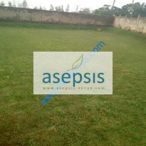 Paspalum grass