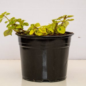 swedish ivy is a popular indoor plant used in hanging baskets