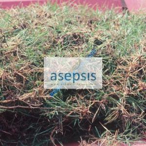 Kikuyu grass sprigs