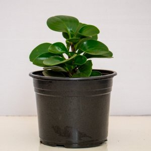 Peperomia is an indoor plant commonly used in interior design for home and office decor