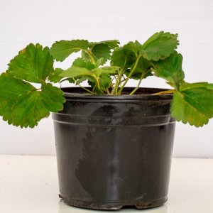 Strawberry fruit plant produces very desirable strawberries.