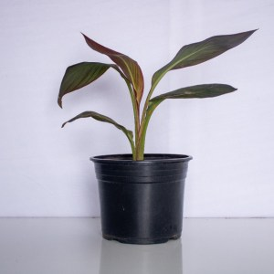 Canna Lily is an ornamental plant that produces red flowers. It can be planted in a garden or in containers.