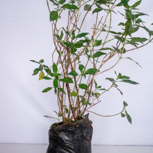 Fire bush plant is a large woody shrub or small tree that produces bright orange blossoms.
