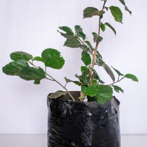 Hibiscus flowers and other parts of the plant are used to make tea and medicine.