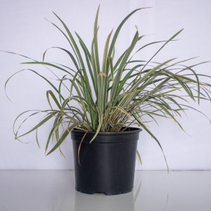 Lilyturf (liriope) is a low grass-like plant that produces purple flowers
