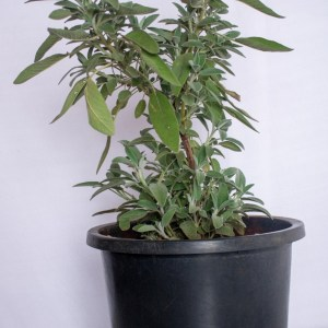 Sage plant is a herb in the mint family. It is used as a medicine or spice.