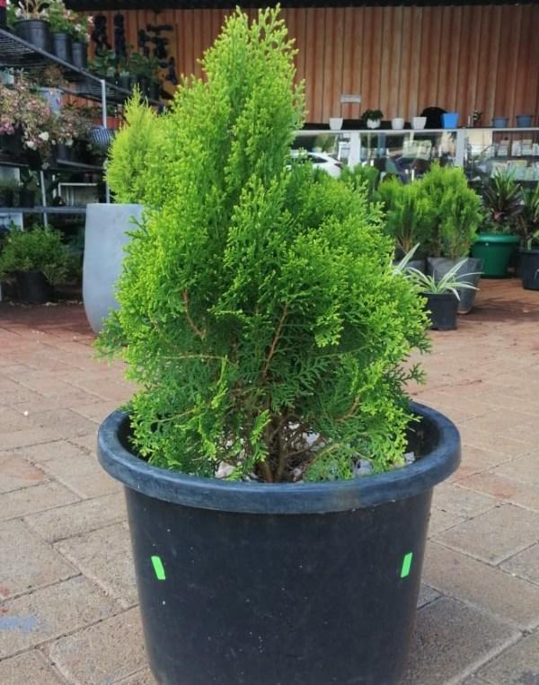 thuja tree in kenya