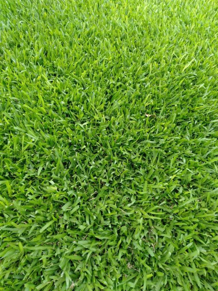 Buffalo Grass in Kenya