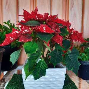 Christmas Flower poinsettia in Kenya