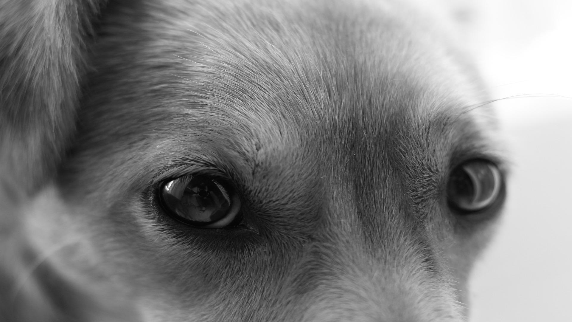 El curioso comportamiento de los perros ante la vida y la muerte1920