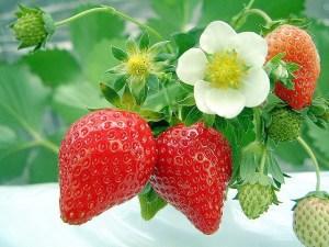 Cara Menanam Budidaya Stroberi atau Strawberry