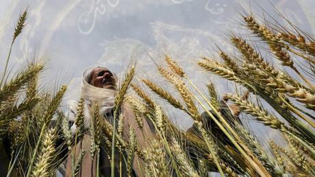 الحكومة المصريه تشترت مليون طن من القمح المحلي حتى الآن