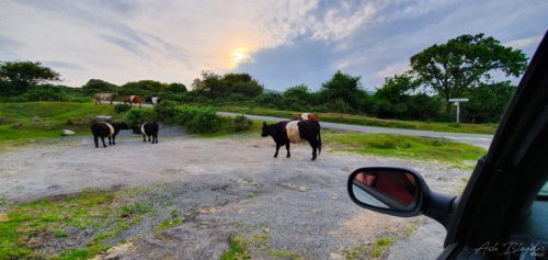 Cows in the road at sunset