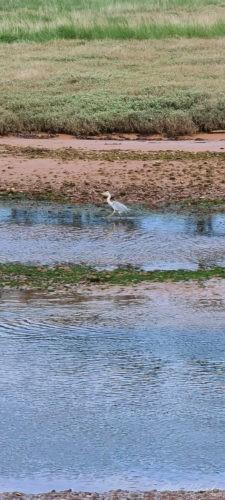 Heron on the Estuary, Budleigh Salterton 2020 10