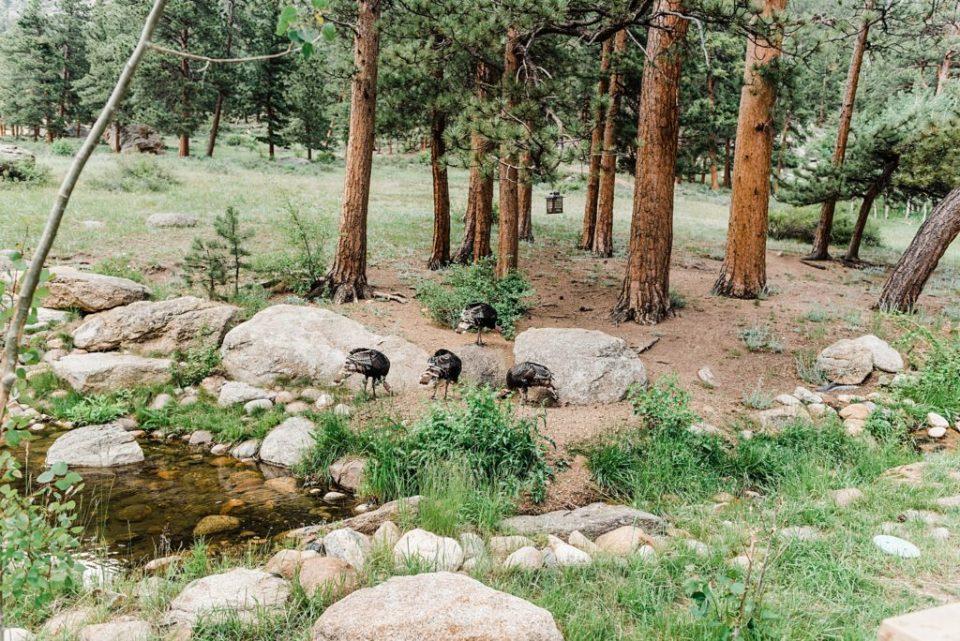 wild turkeys in estes park