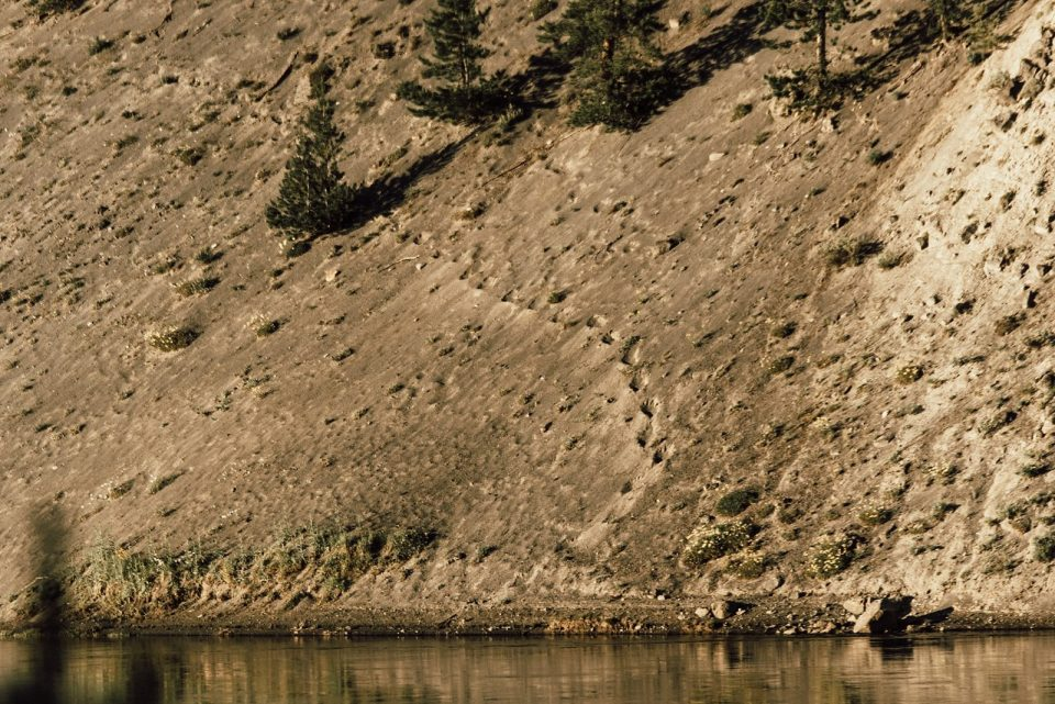 bear tracks in yellowstone