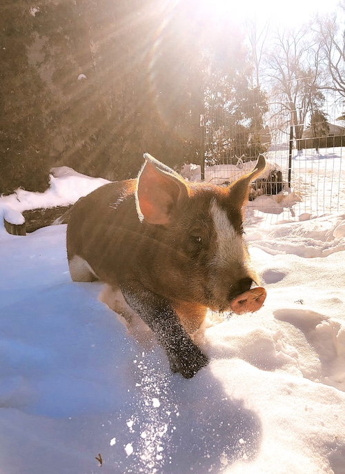 duroc pig in the snow