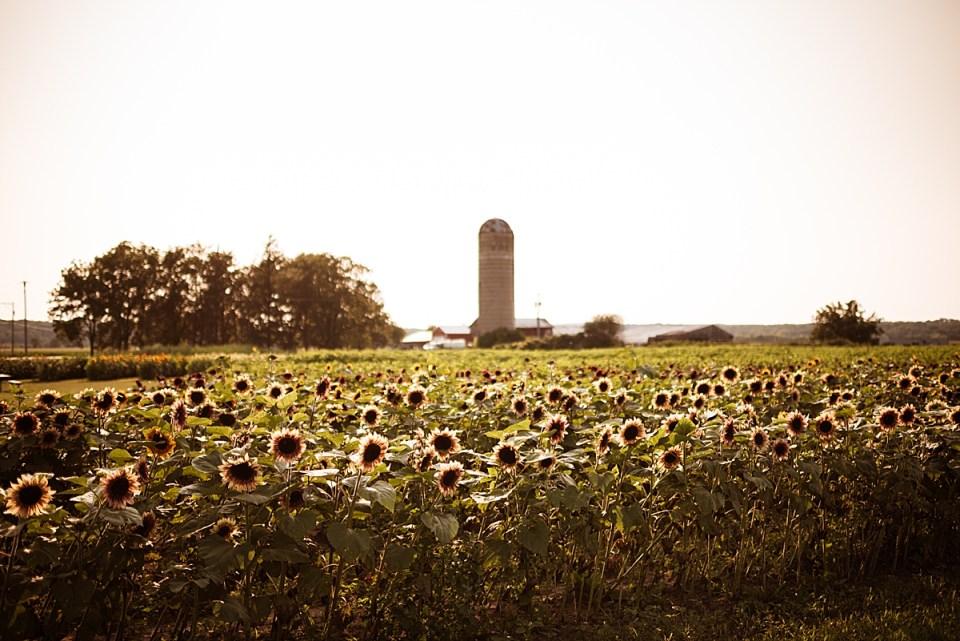 sunflower field in delavan