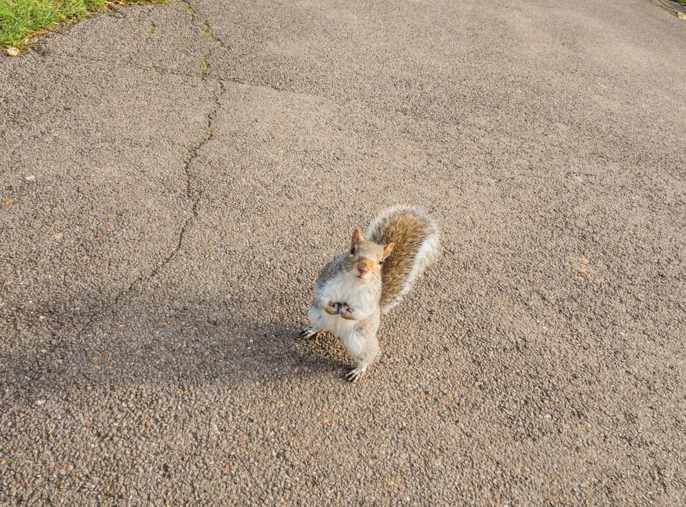 Squirrel - Primrose Hill