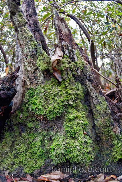 Tree stump and mosses