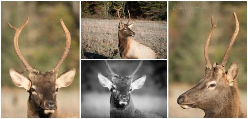 This juvenile elk wanted his portrait taken.