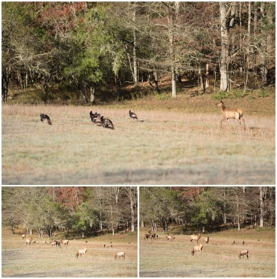 Elk quickly take over the field from a large group of turkeys.