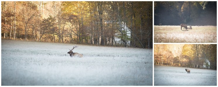 A large elk in a frost covered field.