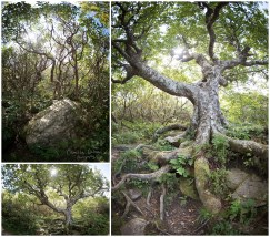 Amazing trees on the Craggy Pinnacle Trail.