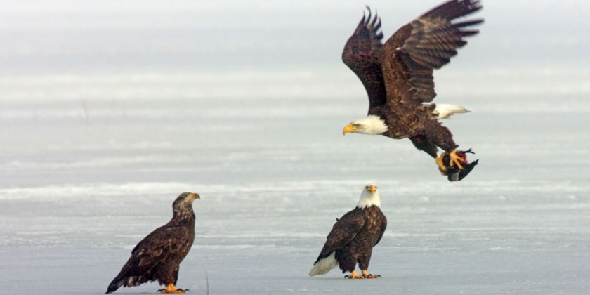 Three Eagles on ice