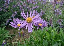 Fall color_Aster