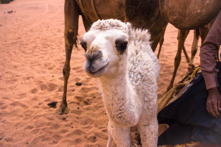 Wadi rum camel