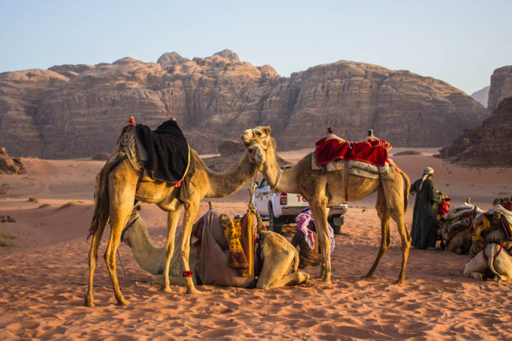 Wadi_rum_camels_standing