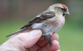 Lesser Redpoll, male Cockley Cley 12th March