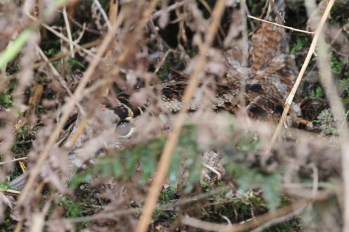 Woodcock on her nest, Cockley Cley, 27th March