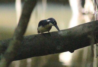 Bismark Kingfisher