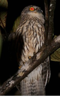 Papuan Hawk Owl